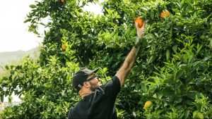 man picking fruit